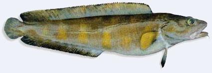 våre vanligste fisker