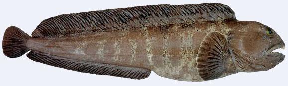 Steinbit